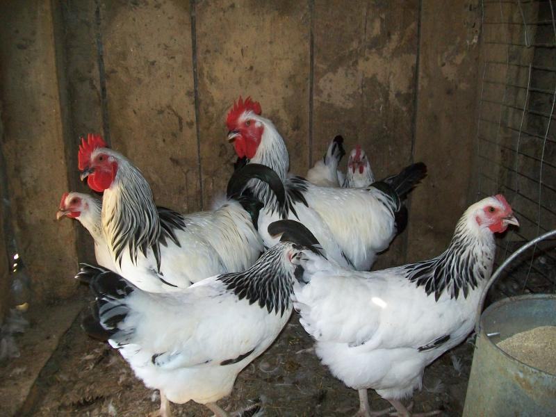 Light sussex chickens for sale pic 20