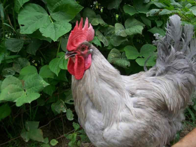 Chicken Scratch Poultry - Lavender Orpingtons